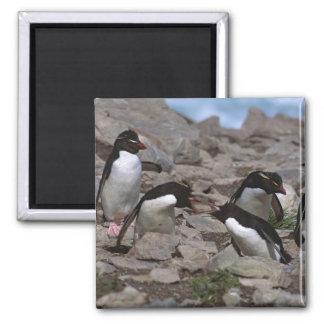 Atlantic Ocean, Falkland Islands. Rockhopper 2 2 Inch Square Magnet