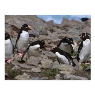 Atlantic Ocean, Falkland Islands. Rockhopper 2 Postcard