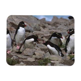 Atlantic Ocean, Falkland Islands. Rockhopper 2 Rectangular Photo Magnet