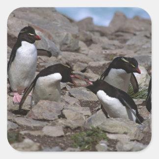 Atlantic Ocean, Falkland Islands. Rockhopper 2 Square Sticker