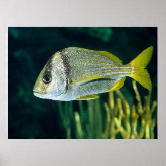 Atlantic Porkfish Portrait Poster