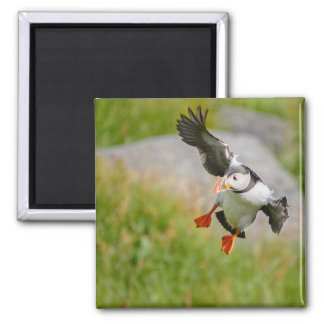Atlantic Puffin bird flying 2 Inch Square Magnet