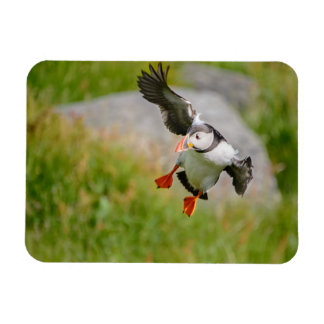 Atlantic Puffin bird flying rectangular magnet