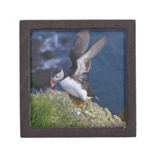 Atlantic Puffin (Fratercula arctica) 2 Jewelry Box