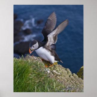 Atlantic Puffin (Fratercula arctica) 2 Poster