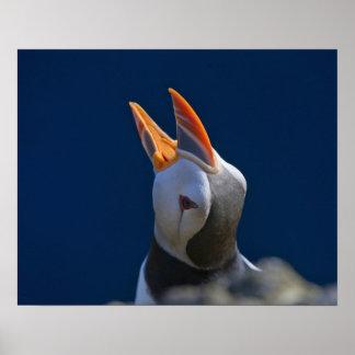 Atlantic Puffin (Fratercula arctica) 3 Poster