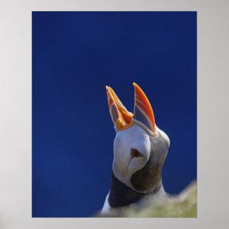 Atlantic Puffin (Fratercula arctica) 4 Poster