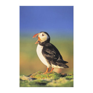 Atlantic Puffin (Fratercula Arctica) Canvas Print