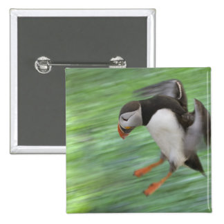 Atlantic Puffin (Fratercula arctica) flying 2 Inch Square Button