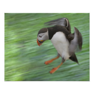 Atlantic Puffin (Fratercula arctica) flying Poster