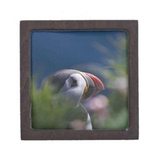 Atlantic Puffin (Fratercula arctica) Gift Box