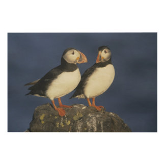 Atlantic Puffin, Fratercula arctica), in Wood Canvases