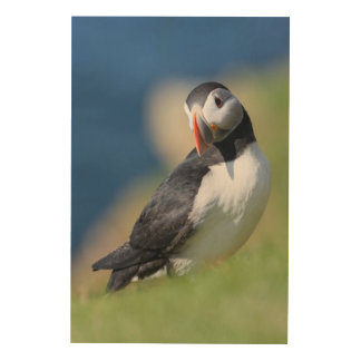 Atlantic Puffin (Fratercula Arctica) On Cliff 2 Wood Wall Art