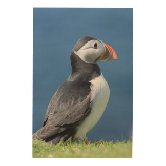 Atlantic Puffin (Fratercula Arctica) On Cliff Wood Wall Art