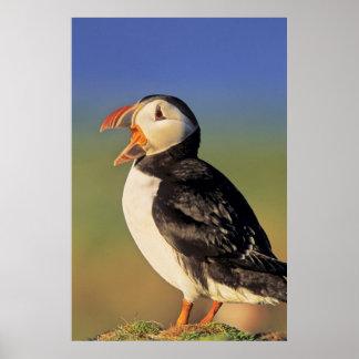 Atlantic Puffin (Fratercula Arctica) Poster