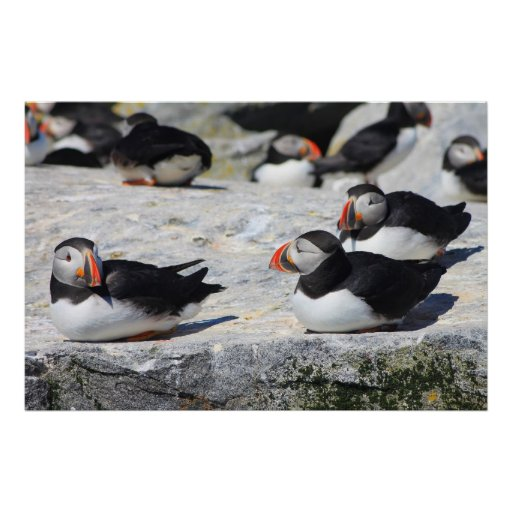 Atlantic Puffins at ease Posters