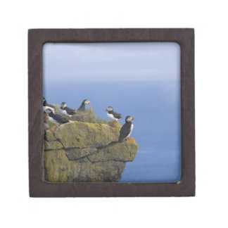 Atlantic Puffins (Fratercula arctica) on cliff Keepsake Box