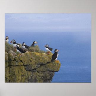 Atlantic Puffins (Fratercula arctica) on cliff Poster