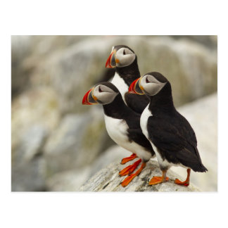 Atlantic Puffins on Machias Seal Island off the Postcard