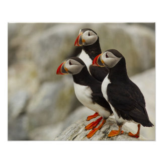 Atlantic Puffins on Machias Seal Island off the Posters