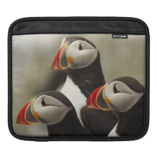 Atlantic Puffins on Machias Seal Island off the Sleeves For iPads