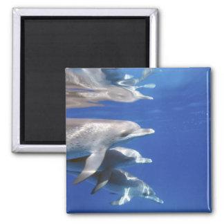 Atlantic spotted dolphins. Bimini, Bahamas. 10 2 Inch Square Magnet