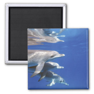 Atlantic spotted dolphins. Bimini, Bahamas. 10 Refrigerator Magnet