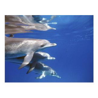 Atlantic spotted dolphins. Bimini, Bahamas. 10 Postcard