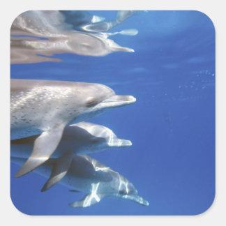 Atlantic spotted dolphins. Bimini, Bahamas. 10 Square Sticker