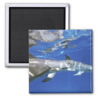 Atlantic spotted dolphins. Bimini, Bahamas. 11 2 Inch Square Magnet
