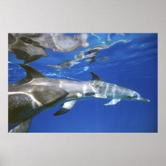 Atlantic spotted dolphins. Bimini, Bahamas. 11 Poster
