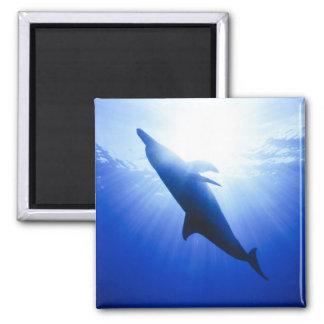 Atlantic spotted dolphins. Bimini, Bahamas. 2 2 Inch Square Magnet