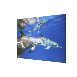 Atlantic spotted dolphins. Bimini, Bahamas. 2 Canvas Print