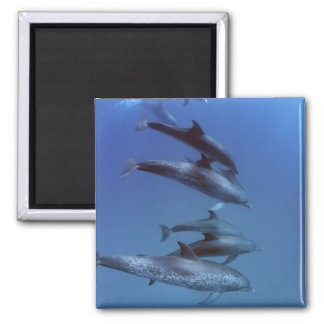 Atlantic spotted dolphins. Bimini, Bahamas. 2 Inch Square Magnet