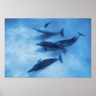 Atlantic spotted dolphins. Bimini, Bahamas. 2 Poster
