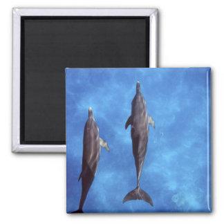 Atlantic spotted dolphins. Bimini, Bahamas. 3 2 Inch Square Magnet