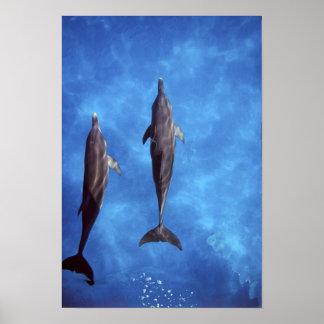 Atlantic spotted dolphins. Bimini, Bahamas. 3 Poster