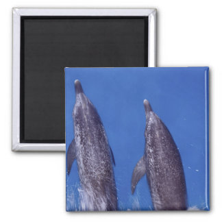 Atlantic spotted dolphins. Bimini, Bahamas. 4 2 Inch Square Magnet