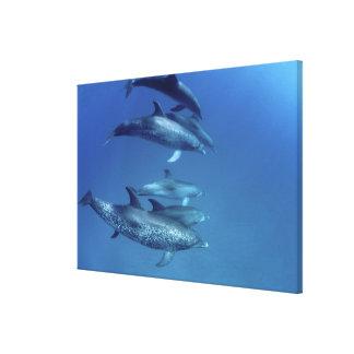 Atlantic spotted dolphins. Bimini, Bahamas. 4 Canvas Print