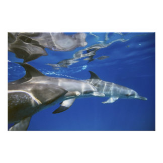 Atlantic spotted dolphins. Bimini, Bahamas. 4 Poster