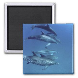 Atlantic spotted dolphins. Bimini, Bahamas. 5 2 Inch Square Magnet