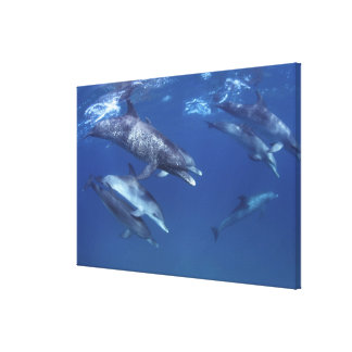 Atlantic spotted dolphins. Bimini, Bahamas. 5 Canvas Print