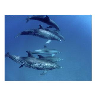 Atlantic spotted dolphins. Bimini, Bahamas. 5 Postcard
