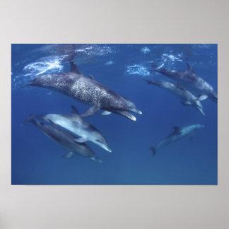 Atlantic spotted dolphins. Bimini, Bahamas. 5 Poster