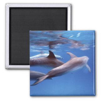 Atlantic spotted dolphins. Bimini, Bahamas. 6 2 Inch Square Magnet