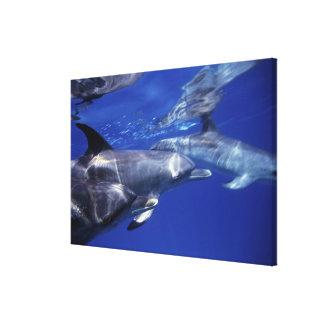Atlantic spotted dolphins. Bimini, Bahamas. 6 Canvas Print