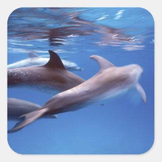 Atlantic spotted dolphins. Bimini, Bahamas. 6 Square Sticker