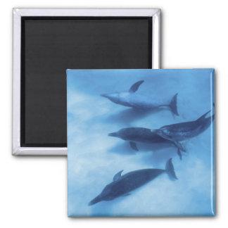 Atlantic spotted dolphins. Bimini, Bahamas. 7 2 Inch Square Magnet