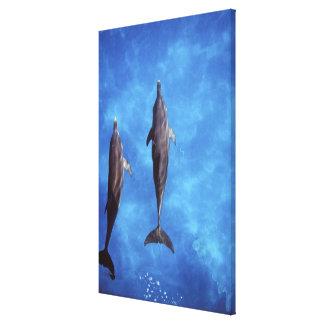Atlantic spotted dolphins. Bimini, Bahamas. 7 Canvas Print