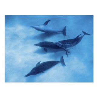 Atlantic spotted dolphins. Bimini, Bahamas. 7 Postcard